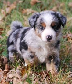 Australian Shepherd puppy.  -Yes I will get one of these cuties one of these days