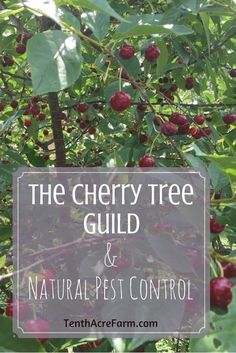 Cherry trees are a good choice for home fruit production, but pests can sometimes be a problem. Here's how we planted our cherry trees using a permaculture guild - a combination of plants that works together to produce more healthy cherries. Forest Garden, Garden Trees, Fruit Tree Garden, Planting Cherry Trees, Tree Planting, Organic Gardening, Gardening Tips, Vegetable Gardening, Container Gardening