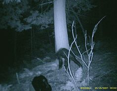 There are hundreds of Bigfoot sightings every year, but some are more far fetched than others. These are our picks for the most believable Sasquatch encounters to ever occur. Bigfoot Pictures, Pie Grande, Lago Ness, Photo Pa, Monster Pictures, Finding Bigfoot, Bigfoot Sightings, Bigfoot Sasquatch, Real Bigfoot
