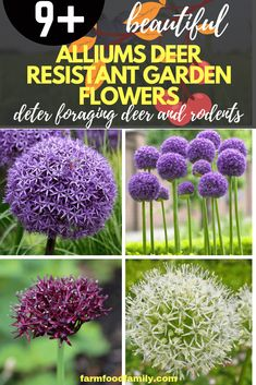 Mix ornamental onion plants with other bulbs, like tulips, or in late spring gardens. To distract deer and rodents away from favored plants, gardeners will grow shortAlliumat the edges of a garden bed. #flowergarden #gardeningideas #farmfoodfamily #springgarden
