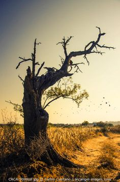 Silhouette of old isolated olive tree with dry leafless branches