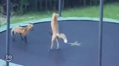 I got Foxes on a trampoline! What Is Your Spirit GIF?