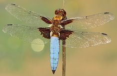 Insects, Dragonfly, Depressa, Macro