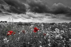 Poppies in a field in black and white Stock Photo