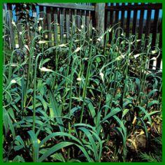 Knoblauch, eine gesunde Gewürzpflanze.  Knoblauch ist eine der ältesten Heil – und Gewürzpflanzen, seine guten Eigenschaften, machen ihn im Garten und in der Küche unentbehrlich  http://www.gartenschlumpf.de/knoblauch/