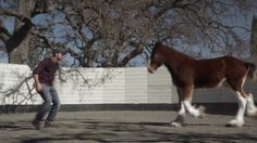 Grab the Tissue Box for this Bud Commercial! This year's Budweiser commercial again features their iconic Clydesdale draft horses, and it's one of the best ads Pretty Horses, Horse Love, Beautiful Horses, Animals Beautiful, Man Horse, Beautiful Songs, Beautiful Creatures, Appaloosa, Budweiser Commercial