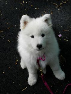 Misty Photo Gallery | White Magic Samoyeds in Brookfield, CT NEED IT