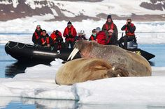 Walrus out on ice floes, Svalbard