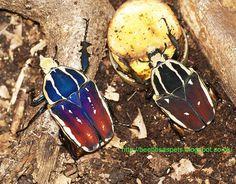 https://flic.kr/p/ogRJd5 | Mecynorrhina Ugandensis, blue brown black pair | SONY DSC