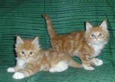 Výsledek obrázku pro gatti rossi