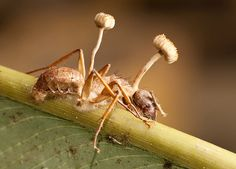 Parasitic Ophiocordyceps unilateralis The Role of Fungi in Nature : Linda Zurich