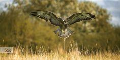 buzzard praying by Patrick de Graaf on 500px