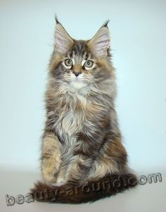 maine coon kittens photos