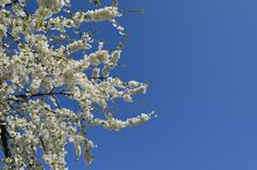 Great Cherry Blossoms