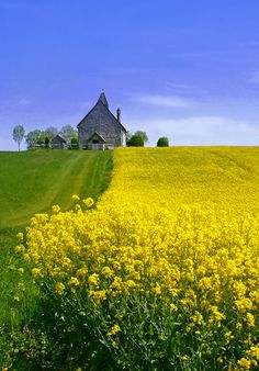 beautiful field of mustard with building on the horizon