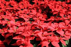 How do you take care of poinsettias? Carefully. These finicky shortday plants require specific growing needs in order to retain their Christmas blooms. Find out more about their care in this article.