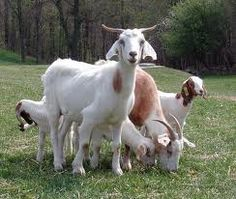 """Read """"Guide To Keeping Goats"""" by Wendy Hargreaves available from Rakuten Kobo. Guide To Keeping Goats Are You a Shepherd? Seriously, have you ever herded sheep or for our purposes goats? Keeping Goats, Raising Goats, Goat Picture, Farm Animals, Cute Animals, Happy Goat, Goat Care, Boer Goats, Goat Farming"""