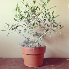 olive tree from terrain