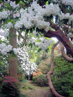 Beautiful gnarled tree with white blossoms.