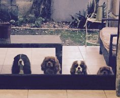 From tallest to shortest ... My four-pack of Cavalier King Charles Spaniels