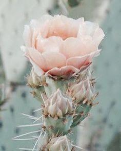 cactus flower - desert angels