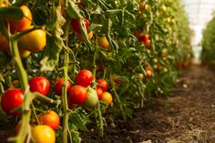 Greenhouses powered by renewables could change the way food is grown Tomato Seedlings, Tomato Plants, Container Gardening, Gardening Tips, Tomato Growers, Growing Tomatoes In Containers, Bountiful Harvest, Garden Types, Food Science