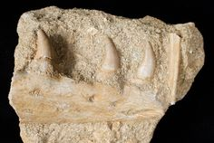 "This is a beautiful jaw section with 3 teeth of a Halisaurus (""Ocean Lizard"") which was in the Mosasaur family."