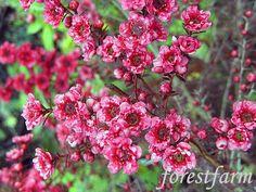 Leptospermum - Burgundy Tea Tree - Australian native plants - Canberra appropriate