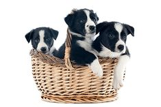 Finding The Best Border Collie Puppies - Border Collie Breeders, Collie Dog, Border Collies, Border Collie Pictures, Dog Dna Test, Smartest Dogs, Dog Breed Info, Puppy Finder, Border Collie