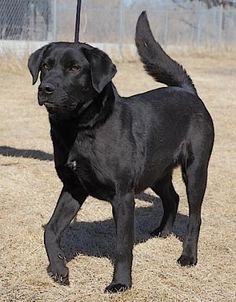 Petango.com – Meet Chubbs, a 3 years Retriever, Labrador / Mix available for adoption in RAPID CITY, SD