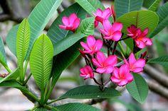 O jasmim rosa (Jasminum x stephanense) é um arbusto que deve ser utilizada em paliçada contra um muro, em treliças ou numa pérgola. Ikebana, Vegetable Garden, Garden Plants, Cactus E Suculentas, Plumeria Flowers, Colorful Plants, Wonderful Flowers, Purple Sky, Leaf Tattoos