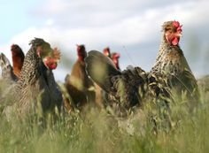Legbars of Broadway | Breeders of the famous Burford Brown &Cotswold Legbar garden hens