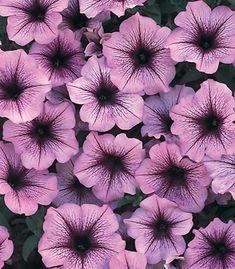 petunia varieties pictures | petunia supertunia bordeaux full name petunia supertunia bordeaux ...