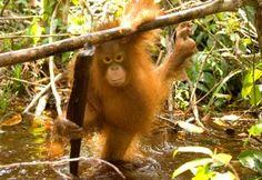 Kesi the orangutan in Forest School at BOS Nyaru Menteng Orangutan Rescue Center.