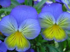Image result for Ultima Morpho Pansy