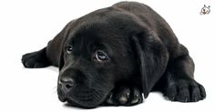 Are you interested in #Labrador Retriever Puppies? Then click here: http://puppies4all.com/labrador-retriever-puppies-for-sale/