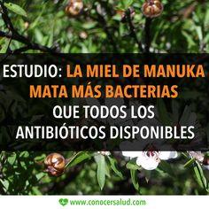 Estudio: La miel de Manuka mata más bacterias que todos los antibióticos disponibles