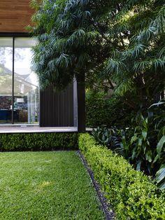 Buxus hedge, Podocarpus tree