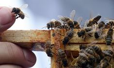 'Steady decline' in honey crop raises concern for honeybees' future Environment The Guardian Butterfly Pose, Humble Bee, England Winter, Raising Bees, Bees Knees, Queen Bees, Bee Keeping, Things That Bounce, How To Find Out