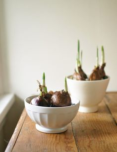 Indoor Winter - plant paperwhites and amaryllis in your favorite charming bowls.
