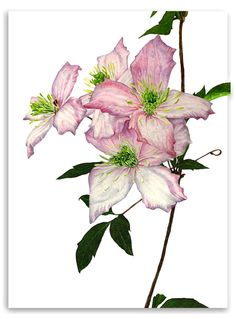 Clematis 'Montana' by Anna Knights