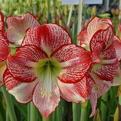 Giant Flowers, All Flowers, Exotic Flowers, Beautiful Flowers, Amaryllis, Big Plants, Dark Winter, Dry Leaf, Potting Soil