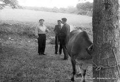 Prueba de bueyes en Andra Mari, 16 de mayo de 1961 (Colección Archivo municipal) (ref. 00618) Mayo, Cow, Horses, Animals, Computer File, Classroom, Naturaleza, Sports, Animales