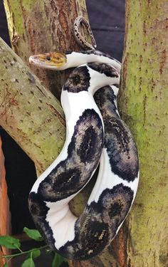 Another shot of a pied retic
