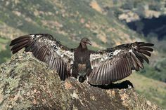 "This week's winner of Wildlife Wednesday is Adarsh Raju for his amazing photo of a juvenile California Condor. Congratulations, Adarsh!  And he included a great description with his photo: ""The largest North American Land Bird! With only around 400 surviving, and more than half of them captive bred and released, like the juvenile shot here, its hard to digest the fate of these majestic creatures.. This is just a juvenile.. Imagine the wingspan of a full grown adult. ! California Condor, Northern California, Vulture, Wednesday, Congratulations, Cool Photos, Wildlife, Survival, Creatures"