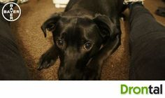 Such a cute dog and always wants cuddles! Even better! #specialroles #drontal #cutedog