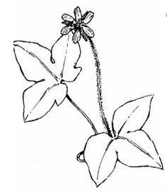 hepatica black and white