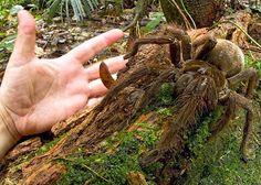 Aranha-golias-comedora-de-pássaro/Goliath bird eating spider (Theraphosa blondi)