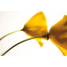 Portfolio Canvas Arched Yellow Poppies by Judith Gigliotti Graphic Art on Wrapped Canvas