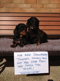 Dog Shaming features the most hilarious, most shameful, and never-before-seen doggie misdeeds. Join us by sharing in the shaming and laughing as Dog Shaming reminds us that unconditional love goes both ways. Dachshund Tattoo, Dachshund Shirt, Dapple Dachshund, Dachshund Gifts, Funny Dachshund, Dachshund Puppies, Weenie Dogs, Dachshund Love, Funny Dogs